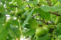 Így kezelj számtalan problémát diófalevéllel! Érdemes megjegyezni ezeket a módszereket! Natural Treatments, Natural Remedies, Salvia, Herbal Medicine, Herbalism, Healthy Living, Lime, Garden, Nature