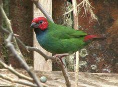 Red-headed Parrotfinch (Erythrura cyaneovirens) A bird perched.