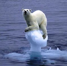 """The climate change has a direct impact on the polar bear. There are estimated 20,000-25,000 polar bears in the world. The polar bear is listed as """"vulnerable"""". The polar bear inhabits the ice-covered waters of the Arctic and are found in Greenland, Svalbard (Norway), northern Canada, Alaska (USA) and Russia. Climate change is the biggest threat to the polar bear, as it's affecting the Arctic sea ice that many polar bears need in order to hunt for food and raise their young."""