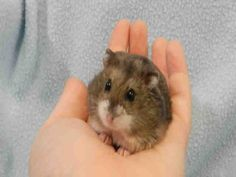 My name is REESE. I am a lovely, social guy who is used to being picked up and handled. I'm just a great hamster who can't wait for my new home!    Come visit me at Pet Valu King & Dufferin.