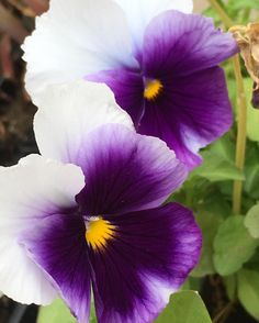 Violas never cease to amaze me - so many variations. #lobotany #urbangardenersrepublic #viola #purple #lobotany #urbangardenersrepublic #flowerstagram #flowerstalking #teffect #gr8flowers #quintaflower #ponyfony_flowers #myheartinshots #purpleflowers #beautiful