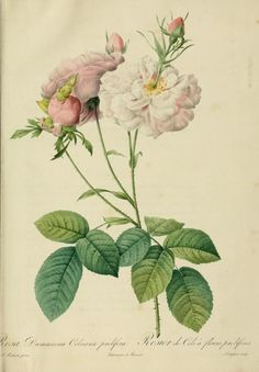 Rosa Damascena Celsiana. Plate from 'Les Roses' (1824) by P. J. RedouteCalifornia State Library archive.org