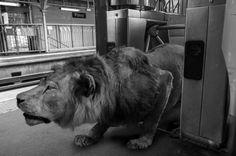 """Les animaux envahissent le métro parisien ! C'est la série """"Animétro"""" de Clarisse Rebotier et Thomas Subtil, présentée du 13 mars au 17 avril à Millesime gallery de Paris.http://www.photo.fr/exposition/les-animetro-de-clarisse-rebotier-et-thomas-subtil.html"""