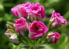 Pelargonium Pink Rosebud
