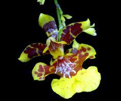 Oncidium leopardinum