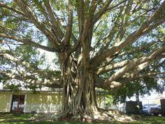 Amazing tree on Tuttle Ave & Ringling Blvd :)
