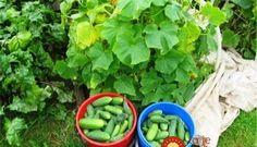 5 tajomstiev, ako ešte podporiť úrodu uhoriek: Budú sladšie, chutnejšie a hlavne ich bude viac!