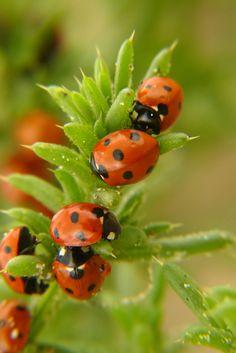 Ladybugs by Rasa Lazauskaite
