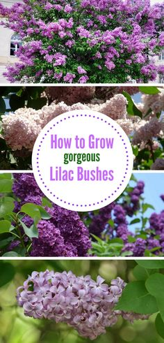 Learn how to grow lilac bushes in your yard so that they stay there for decades! Learn how to grow lilac bushes in your yard so that they stay there for decades! This low-maintenance perennial is easy to care for when you know what. Lilac Bushes, Lilac, Garden Care, Grow Gorgeous, Lilac Tree, Beautiful Blooms, Flower Garden, Lilac Plant, Beautiful Flowers Garden