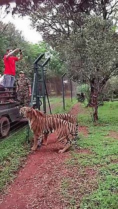 tiger kitties ...
