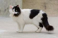 240 best cow cats images  cats white cats cow cat