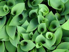 Convallaria majalis - lily of the valley - kielo