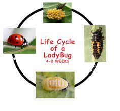 Life Cycle of a Ladybug by Kids Growing Strong l Caterpillar Preschool, Preschool Garden, Preschool Science, Preschool Crafts, Elementary Science, Ladybug Crafts, Growing Strong, Garden Bugs, Butterflies
