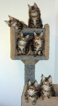 Maine Coon Cats Kittens - Click for More...they all look like mini Cesar's...