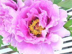 Glorious Peony Time – One of the Joys of my Garden (WHOOPS it went out…) | Carolyne Roehm
