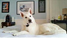 Ghost! 10 months old White German Shepherd  #Whitegermanshepherd #Germanshepherd #dogs