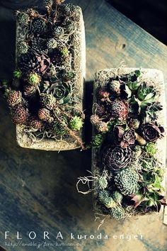Sempervivum Yoseue |フローラのガーデニング・園芸作業日記