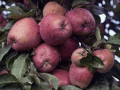 Розмноження яблуні відсадками.Це найрезультативніший спосіб розмноження яблуні. Оскільки прикопати гілку дорослого дерева неможливо, укорінення відсадків відбувається в повітрі. Отже: – на дереві вибирають потужні гілки з сильним приростом; – в десяти сантиметрах від верхівки знімають кільцеву смужку кори завширшки три сантиметри або роблять кілька косих кругових насічок; – травмовану ділянку обробляють порошковим ростовим регулятором, наприклад, корневіном; – для підтр Vegetative Reproduction, Fruit, Food, Essen, Meals, Yemek, Eten
