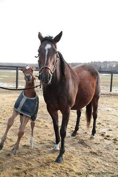 Proud Spell & her 2016 Deep Impact colt (photo: Northern Horse Park)