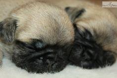 Pug puppy for sale near Mcallen / Edinburg, Texas | 57fef836-e8d1