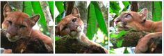 The amazing facial expressions of a Puma? What else can we say but #PuraVida!