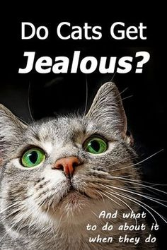 Do Cats Get Jealous? (and What To Do About It When They Do) Cat attacking another in your home? You're probably wondering at this point: Could the aggressive cat actually be jealous? Do kitties experience jealousy Cat Attack, Cat Info, Cat Care Tips, Pet Care, Cat Behavior, Cat Facts, Cat Health, Beautiful Cats, Cat Breeds