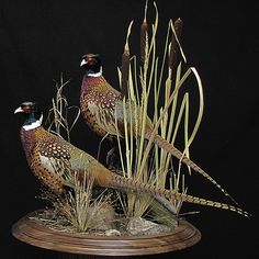 Responsible hunting, game management and wildlife conservation are important aspects of any wild game hunting, but many find the challenge of deer hunting to be the most challenging. Here are some ideas and deer hunting tips to make y Taxidermy Decor, Taxidermy Display, Bird Taxidermy, Quail Hunting, Waterfowl Hunting, Pheasant Hunting, Pheasant Mounts, Game Birds, Beautiful Birds