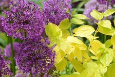 purple allium and yellow leaved shrub