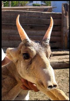 The Saiga Antelope is known for its extremely unusual, over-sized, flexible nose structure. The sad news is that these creatures are critically endangered and it is already completely extinct in China and southwestern Mongolia. Bizarre Animals, Extinct Animals, Unusual Animals, Rare Animals, Animals And Pets, Funny Animals, Adorable Animals, Beautiful Creatures, Animals Beautiful