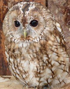 Owls Part 2 - Where to watch wildlife - Wildlife Tawny Owl, British Garden, Owl Pictures, Pinterest Images, Baby Owls, Beautiful Creatures, Animals And Pets, Wildlife, Garden Birds
