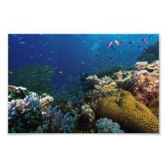 A beautiful photo print that features abundant schools of brightly colored tropical fish sea against the amazing corals of Australia's Great Barrier Reef. #coral #reef #ocean #sea #tropicalfish #nature #wildlife #coralsea #greatbarrierreef