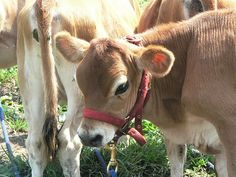 Jersey Miniature cattle - how did I not know you could have an entire miniature farm?!