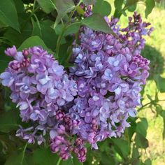 Scentara® Double Blue - Lilac - Syringa x hyacinthiflora | Proven Winners