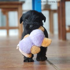 33 days old. black standard schnauzer puppy with the doll