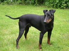 Black and tan coonhound is proved to be a good jogging companion