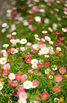 Erigeron karvinskianus - Mexican Daisies - look great planted in cracks in paving where they self seed and spread - long flowering time!