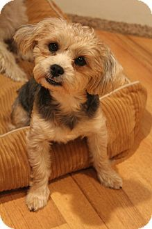 Yorkshire terrier for adoption in new jersey