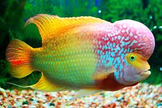 <3 love knowing God made such a funky-fresh, colorful fish >> Flower horn fish <
