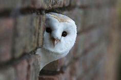 メンフクロウ barn owl