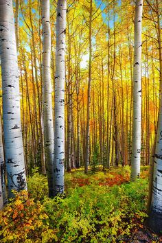 Trees of Gold, Aspen Trees, Kebler Pass, Colorado // Edward Marcinek Beautiful Landscapes, Beautiful Images, Rocky Mountains Colorado, Colorado Usa, Landscape Photography, Nature Photography, Aspen Trees, Birch Trees, Autumn Scenery
