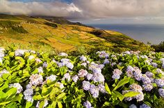 Hydrangeas growing in Flores, Azores Islands, Portugal