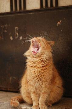 Roaring istanbul cat