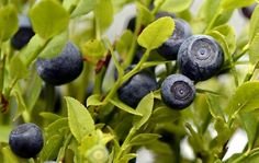 Blueberry in Finland <3