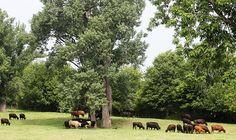Amana Cattle
