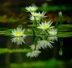 waterlelies.