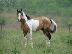 buckskin paint has always been my dream horse. for real.