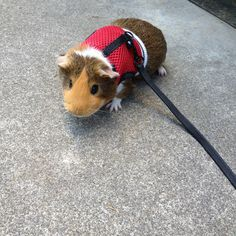 Super pet nylon comfort harness plus stretchy leash for small animal guinea pig on a leash publicscrutiny Image collections