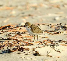 Red-capped plover chick by BirdBags