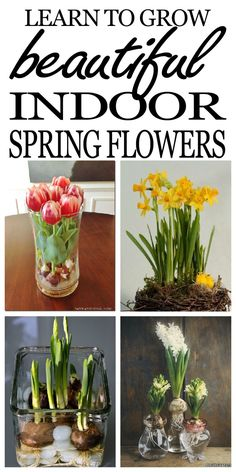 Forcing spring bulbs is a great way to bring beautiful and cheerful garden blooms into your home while the outdoor garden sleeps It is not difficult to force your favorit. Indoor Flowers, Bulb Flowers, Indoor Plants, Rare Flowers, Air Plants, Beautiful Flowers, Spring Plants, Spring Flowers, Planting Bulbs In Spring