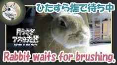 ひたすら撫で待ち中【ウサギのだいだい 】 Rabbit waits for brushing. 2016年2月7日